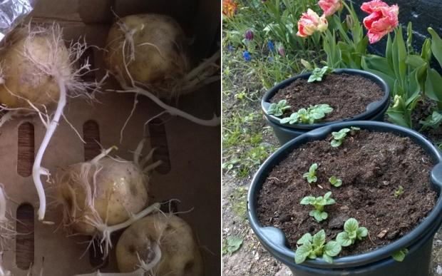 aeggeblommekartofler